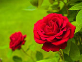 Red Rose on the Branch in the Garden — Stock Photo
