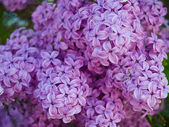 Purple and Pink Lilac Clusters Blooming in Springtime — Stock Photo