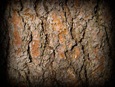 Evergreen Tree Bark Background — Stock Photo