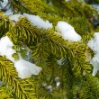 Snow Covered Pine Tree Branches Close Up — Foto de Stock