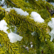 Snow Covered Pine Tree Branches Close Up — Stockfoto