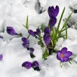 Purple Crocuses Poking Through the Snow in Springtime — Stock Photo