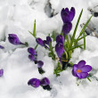 Purple Crocuses Poking Through the Snow in Springtime — Stock Photo #5045192