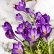 Purple Crocuses Poking Through the Snow in Springtime — Stock Photo #5045197