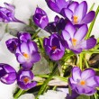 Stock Photo: Purple Crocuses Poking Through Snow in Springtime