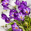 Purple Crocuses Poking Through the Snow in Springtime — Foto de Stock