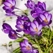 Purple Crocuses Poking Through the Snow in Springtime — Stockfoto