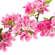 Bright Pink Clusters of Tree Blossoms Isolated on White — Stock Photo