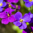 Pretty Violet Flowers in a Greenhouse on a Sunny Day — Foto de Stock