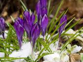 Purple Crocuses Poking Through the Snow in Springtime — Stock Photo