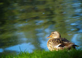 Duck at the Water's Edge 1 — Stock Photo