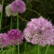 Stock Photo: Allium-purple bloom about size of baseball