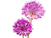 Allium-A purple bloom about the size of a baseball — Stock Photo
