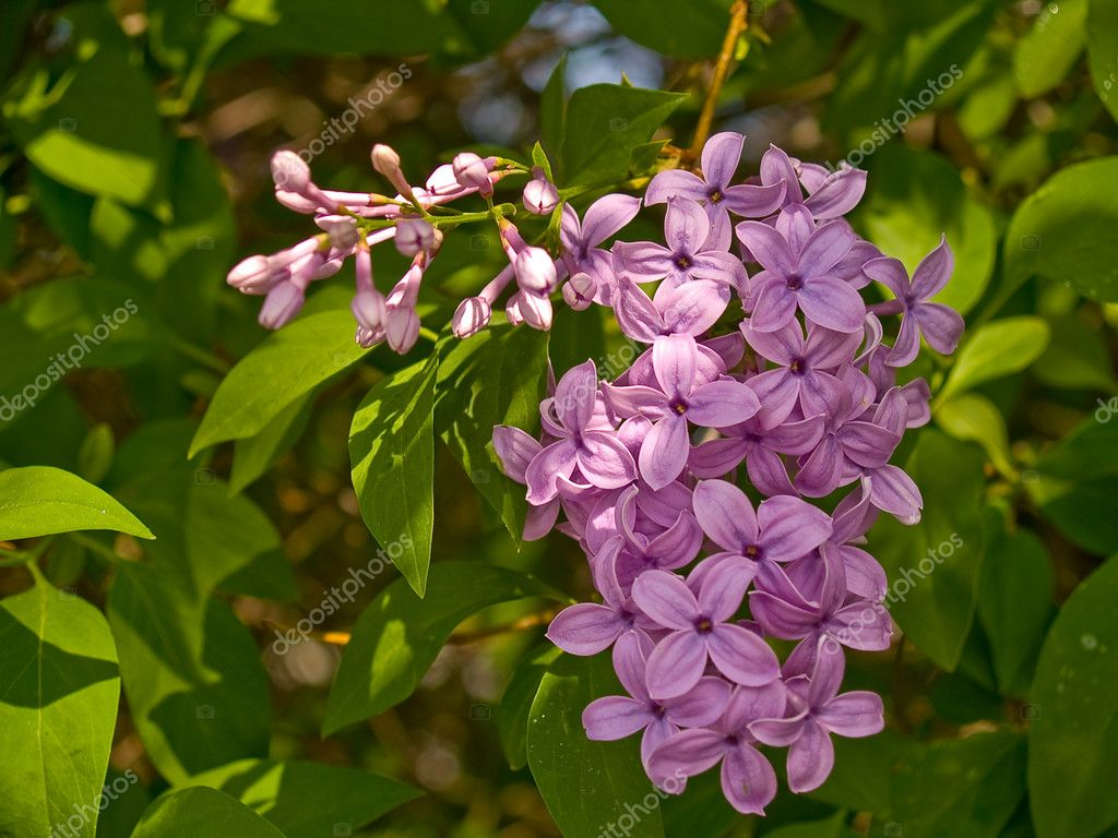 Purple Lilac Flowers In Bloom During Springtime Stock