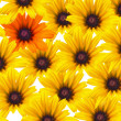 Stockfoto: Yellow daisy flowers repeated as background with single orange bloom