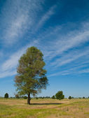 Lone Tree in a Field with Wispy Clouds — Stock Photo