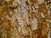 Tree evergreen bark texture background at sunset — Stock Photo