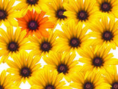 Yellow daisy flowers repeated as a background with a single orange bloom — Stock Photo