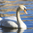 Stock Photo: Beautiful white swan on blue water
