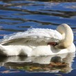Beautiful white swan on blue water — Stock Photo