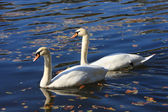 Two beautiful white swan — Stock Photo