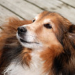 Sheltie dog portrait - Stock Photo