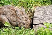 Rabbit with clovers — Stock Photo