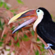 Toucan bird with mouth open — Stock Photo