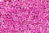 Beautiful pink rose background — Stock Photo
