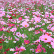 Beautiful flowers cosmos - Stock Photo