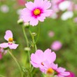 Cosmos flowers in outdoor park — Stock Photo