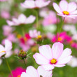 Cosmos flowers in outdoor park - Stock Photo