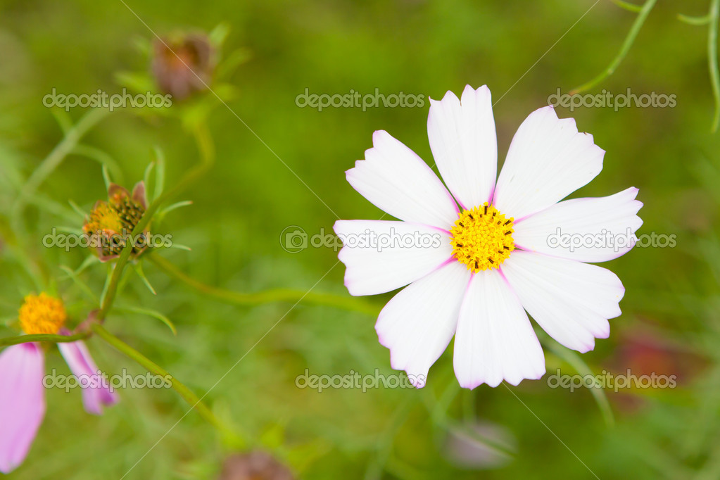 Фотообои Цветы космос крупным планом