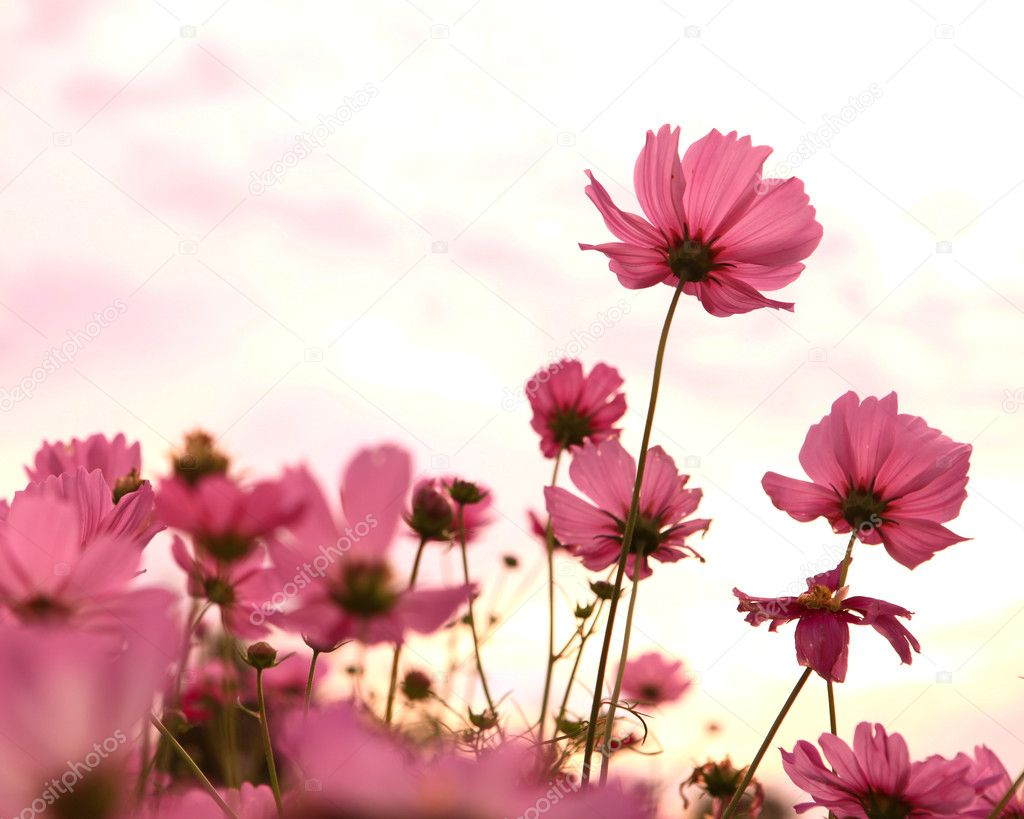 Фотообои Cosmos flowers in sunset