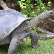 Giant tortoise - Stock Photo