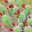 Red Cacti Blooms - Stock Photo