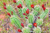 Red Cacti Blooms — Stock Photo