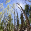 Aspen Forest — Stock Photo