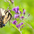 Tiger Swallowtail Butterfly - Stock Photo
