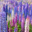 Lupin Flowers — Stock Photo #5270568