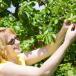 Royalty-Free Stock Photo: Picking cherries