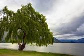 Lakeside Tree — Stock Photo