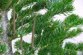 Kürk-ağaç dalı — Stok fotoğraf