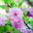 Cherry Blossoms At the tree - Stock Photo