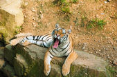 Tiger on a rock — Stock Photo