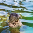 Foto de Stock  : Seal in water