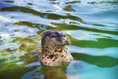 Seal in water — Foto Stock