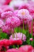 Różowy bellis — Zdjęcie stockowe