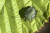Green stink bug — Stock Photo