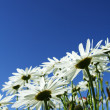 Daisies — Stock Photo #4010581